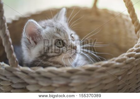 Lovely tabby scottish fold kitten playing in the basket