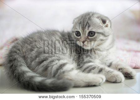 Lovely scottish fold kitten laying on the floor