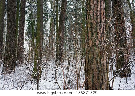 Pine forest in snowy winter.