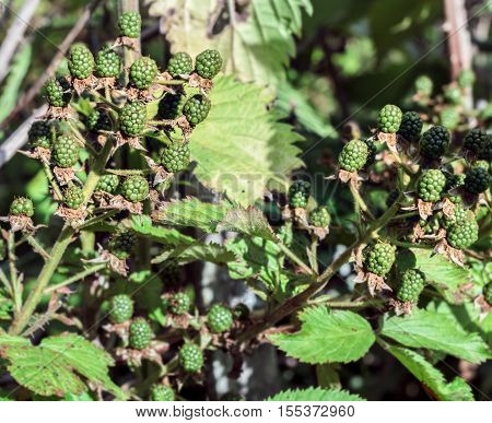 Green unripe blackberries at summer sunny day