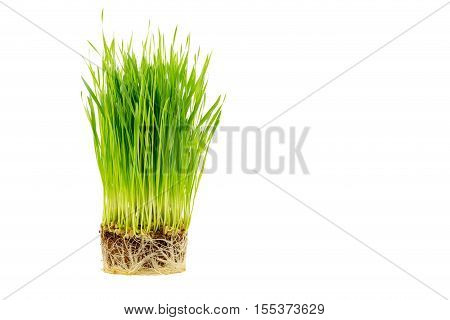 Sprout wheatgrass with root isolated on white background