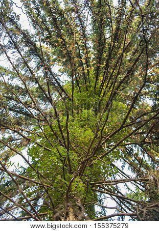 Tree climbing parasite plant is slowly choking a tree.