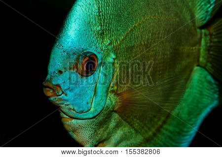 Nice Portrait Of Blue Discus Fish On A Black Background