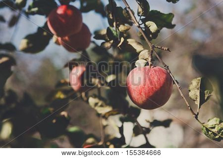 Red ripe apple on branch of tree. Closeup of fresh organic apples with green leaves. Sunny autumn garden in village. Growing seasonal fruits, harvest at farm, agricultural concept