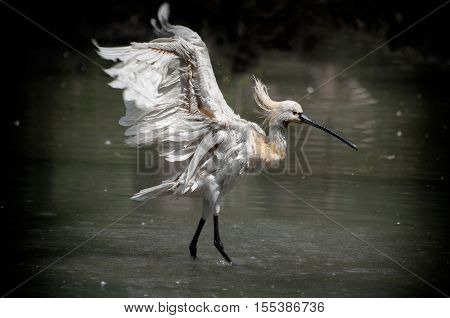 Spoonbill (Platalea leucorodia) in water and splashing water drops around Kolkata West Bengal India