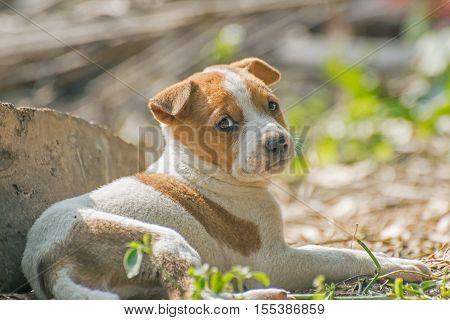 Unhappy Puppy juvenile dog lying down on ground. Stock image of moody dog shot at Kolkata Calcutta West Bengal India