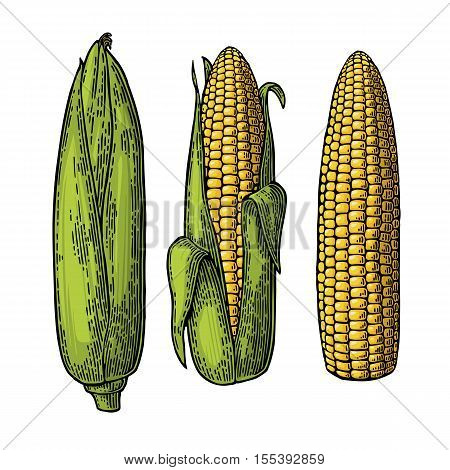Set ripe cob of corn from the closed to the cleaned. Different degree of purification of the leaves. Vector vintage color engraving illustration. Isolated on white background.