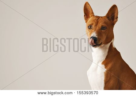 Adorable brown and white dog licking his nose, close up isolated on white