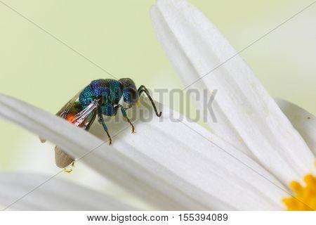 Close Photo Of  Cuckoo Wasps Or Emerald Wasps.