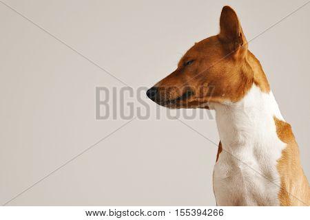 Portrait of a sleepy looking cute basenji dog with eyes half closed