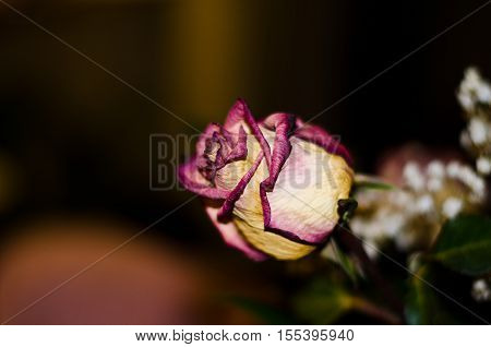 rosebud petals with different degrading shades of pink on a black background