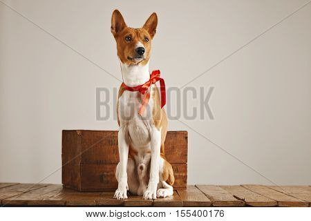 Low angle shot of a pretty dog with a sateen bow sitting next to a vintage wooden crate in a studio with white walls