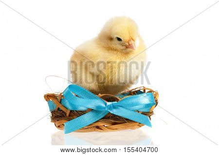 Beautiful little newborn chicken in nest with blue bow. Cute newly hatched chick, isolated on white background.