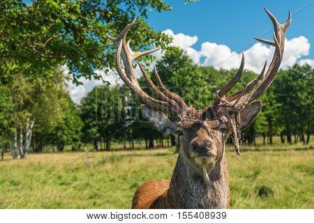 Male deer grazing in the summer field