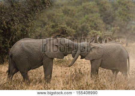 Young African bush elephants (Loxodonta africana) playing together Kenya