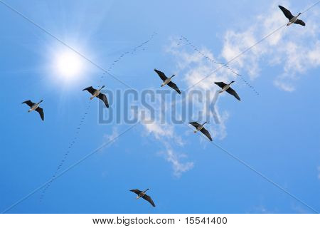 flock of migrating
