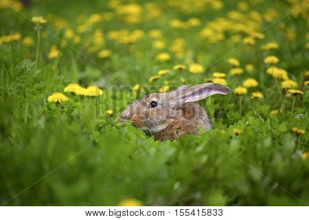 Grey Easter Bunny hid in a field of dandelions