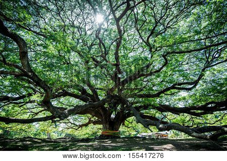 Large Samanea saman tree with branch in Kanchanaburi Thailand. the big tree in thailand