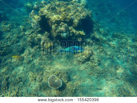 Underwater landscape with blue parrot fish in coral reef. Growing corals on tropical sea bottom. Parrotfish in wild nature. Turquoise water in lagoon. Seaside ecology and life. Snorkeling photo