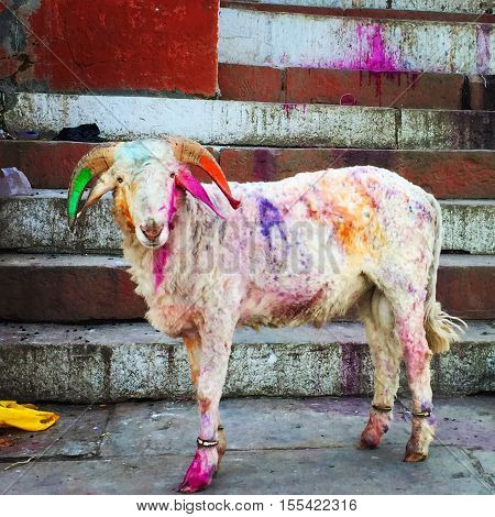 Colored goat at indian street during Holi festival. Streetlife of India. Holi celebration with henna colors. Colorful splash over ancient city. Festive tradition. White kid domestic animal portrait
