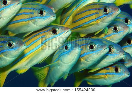 Close-up of School of Bluelined Snappers (Lutjanus Kasmira).Mansuar Raja Ampat Indonesia
