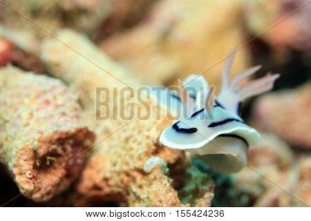 Loch's Magnificent Slug (Chromodoris Lochi) Nudibranch. Mansuar Raja Ampat Indonesia