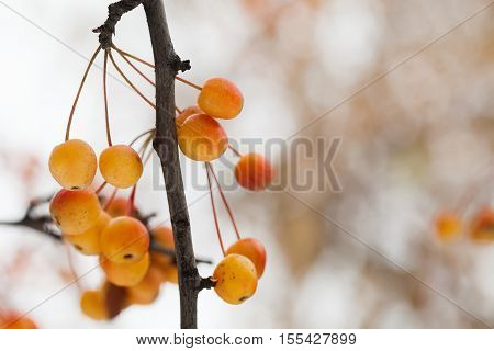 Macro view Chinese crabapple branch with yellow orange apple fruits. Ripe Malus prunifolia apples. shallow depth of field