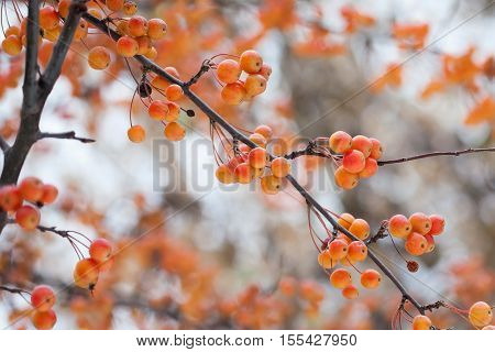 Chinese apple tree branches with apples. Malus prunifolia yellow orange fruits. shallow depth of field