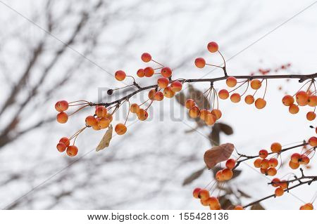 Chinese crabapple. apple tree branch with apples. Malus prunifolia yellow orange fruits. shallow depth of field