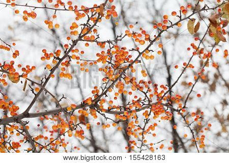 Apple tree branch with fruits. Small orange Chinese apples Malus prunifolia. Soft focus