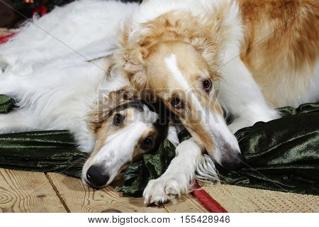 large Borzoi hounds hugging each other