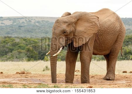 Two Legs In The Watering Hole -  Bush Elephant