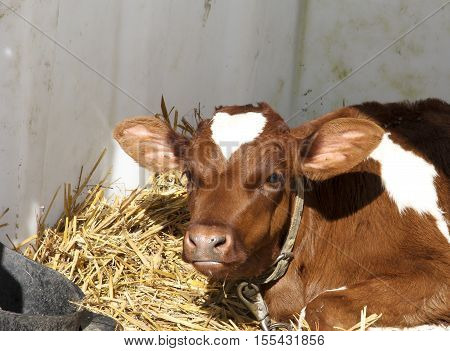 Young calf in an enclosure selected for Veal meat