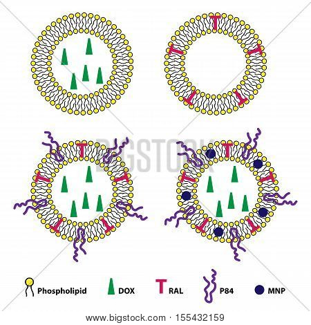Medical vector illustration of liposomes drug delivery system