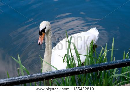 A beautiful white Swan on the River Great Ouse at Bedford