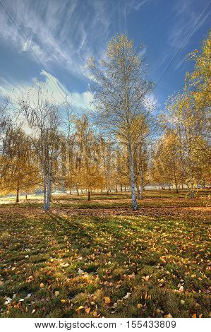 Orchard of aspen trees with yellow leaves in autumn near Plummer Idaho.