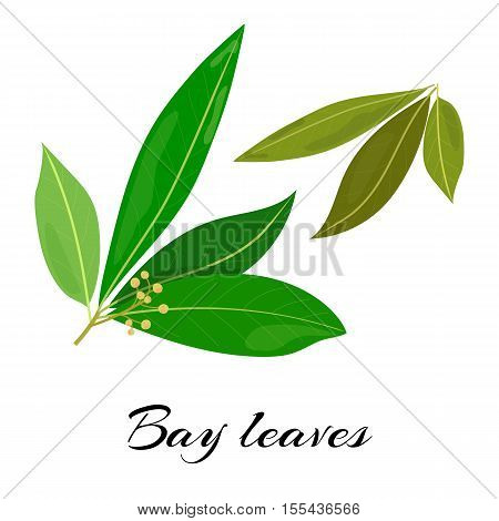 Raw and dried bay leaves. Latin - Laurus nobilis. True laurel branch. Colored vector illustration