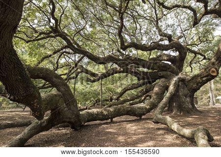 The Angel Oak, near Charleston, South Carolina