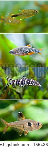 Aquarium fish collection set. Swimming silver tipped tetra, Danio margaritatus celestial pearl Microrasbora Galaxy, Botia histrionica, Rosy Tetra. Macro view