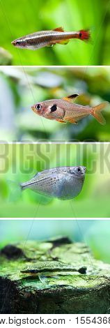 Set of freshwater aquarium fishes. White Cloud Mountain minnow fish, Rosy Tetra, Flying heavily-keeled body Gasteropelecus sternicla, Otocinclus macrospilus vitattus. macro view