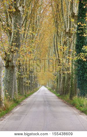 Stunning country road lined with ancient plane trees in autumn. HDR image.