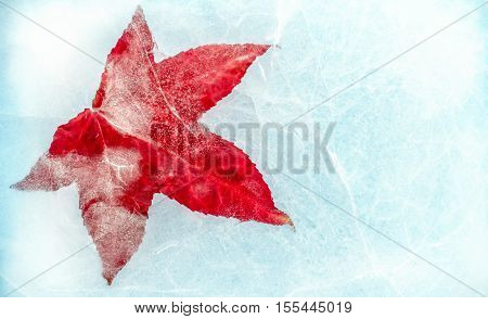 Closeup of a Japanese Maple (Acer palmate) leaf frozen on cracked blue water.