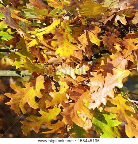 Colorful fall leaves of an oak - selected focus; narrow depth of field