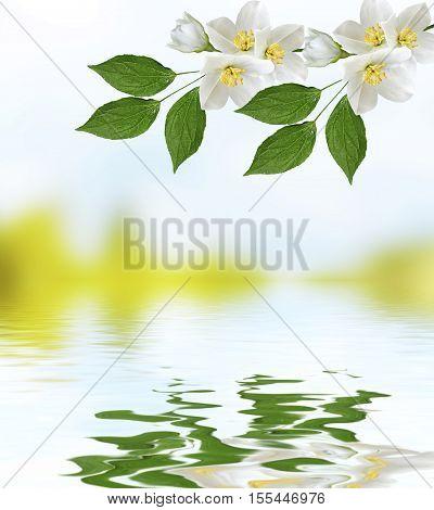 White jasmine branch of delicate spring flowers