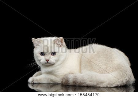 Adorable British breed Cat White color with magic Blue eyes, Lying on Isolated Black Background with reflection