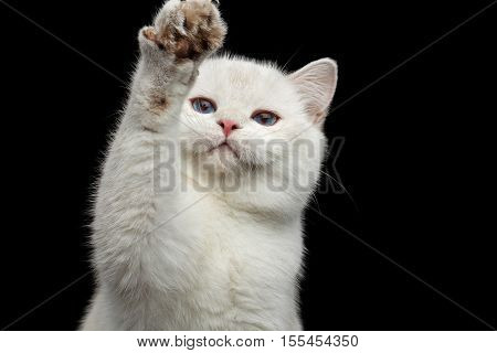 Close-up Furry British breed Cat White color with magic Blue eyes, raising up paw, on Isolated Black Background