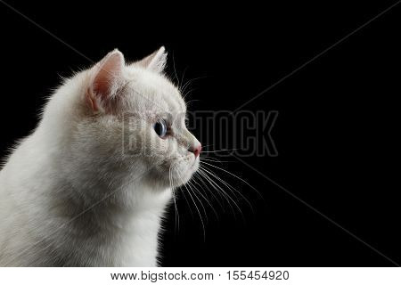 Close-up Furry British breed Cat White color with magic Blue eyes on Isolated Black Background, Profile view