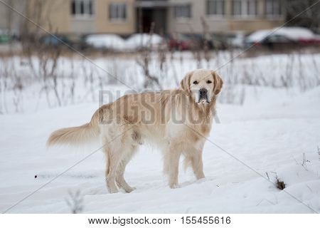 dog breed golden retriever playing in the snow in the winter