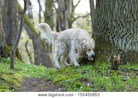 golden retriever on a flowers background Anemones flowers on the green grass spring forest