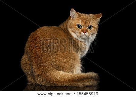 Furry British breed Cat Gold Chinchilla color Sitting and Looking back, Isolated Black Background